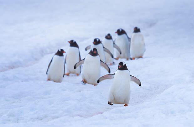 Пингвины используют определенные маршруты, чтобы добраться до воды и вернуться обратно. Первым идет вожак стаи, за ним гуськом следуют остальные