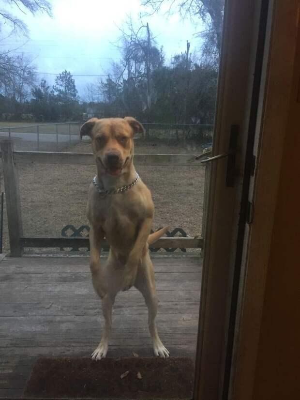Ребята, что вы там делаете? Впустите меня! домашний питомец, животные, как люди, милота, подборка, позитив, собака