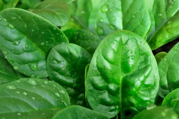 Шпинат - король зелени - Интересно о вкусном - Готовить легко!