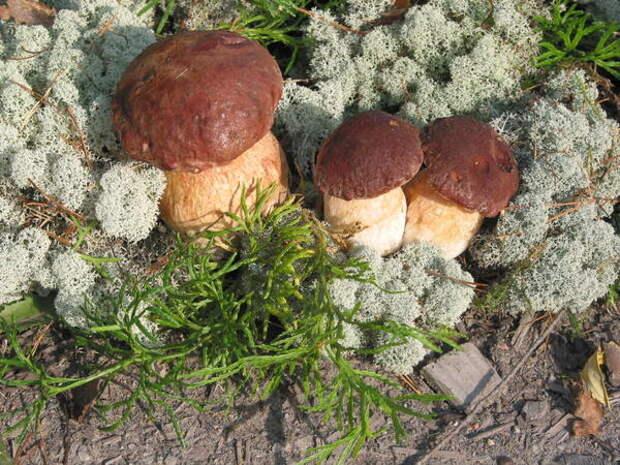 Bóletus pinophilus, белый гриб сосновый