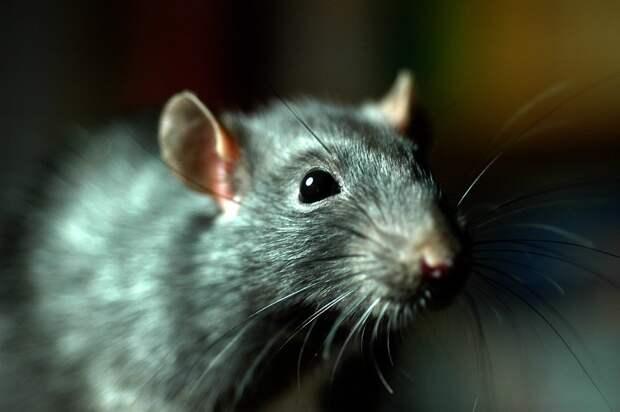 В Барселоне пересчитали крыс в канализации