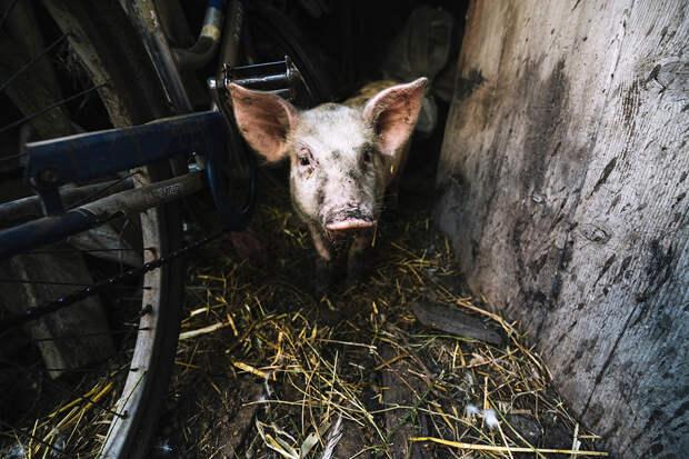 Сибиряк смертельно ранил себя во время забоя свиньи