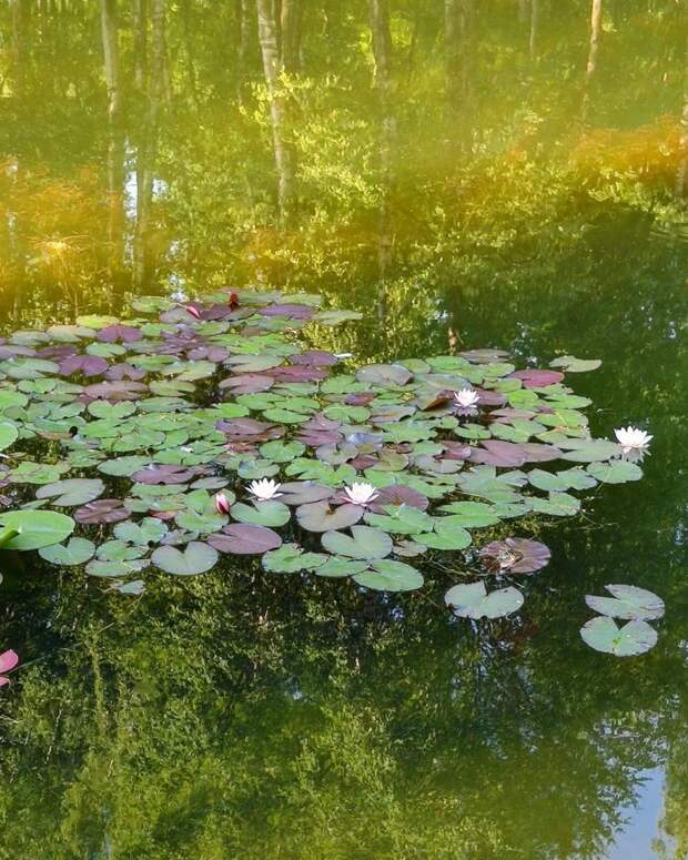 Фото дня: кувшинки из сказки в Лианозовском пруду