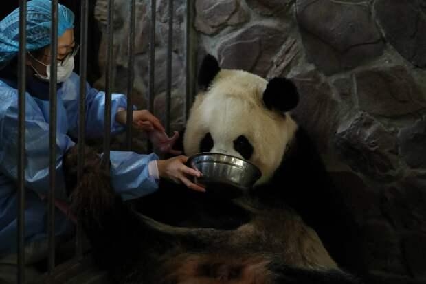 Китайская панда родила близнецов