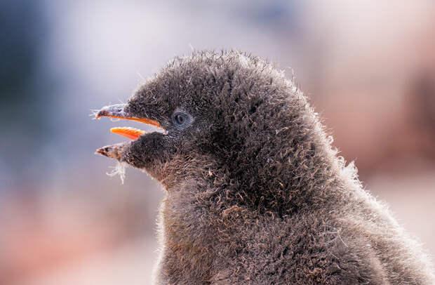 Пингвин Адели, узнали?