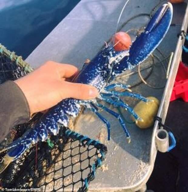 В Великобритании рыбак поймал редкого синего лобстера фото
