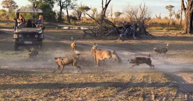 Львица спасла своего детеныша от стаи диких собак видео, детеныш, дикая природа, дикие животные, заповедник, лев, львица, сабаки