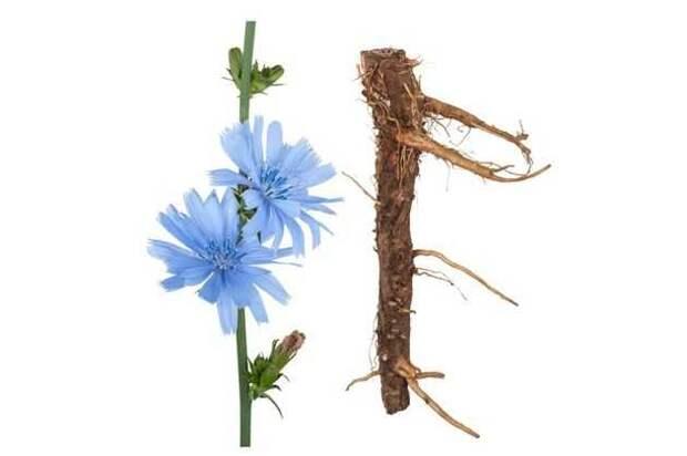 цикорий: цветы и корни