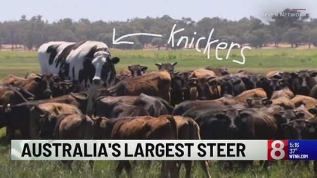 Познакомьтесь с Никерсом, гигантским быком, который слишком велик для убоя