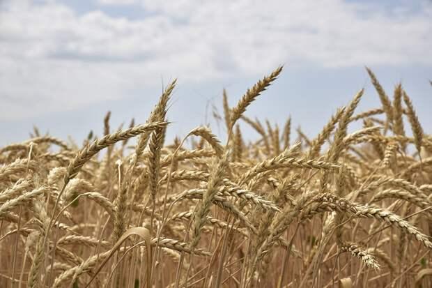 Урожай зерна на Кубани превысил 9,4 миллиона тонн