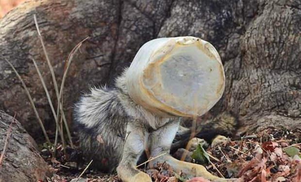 Дикий исхудавший волк с бутылью на голове вышел к людям и попросил помощи