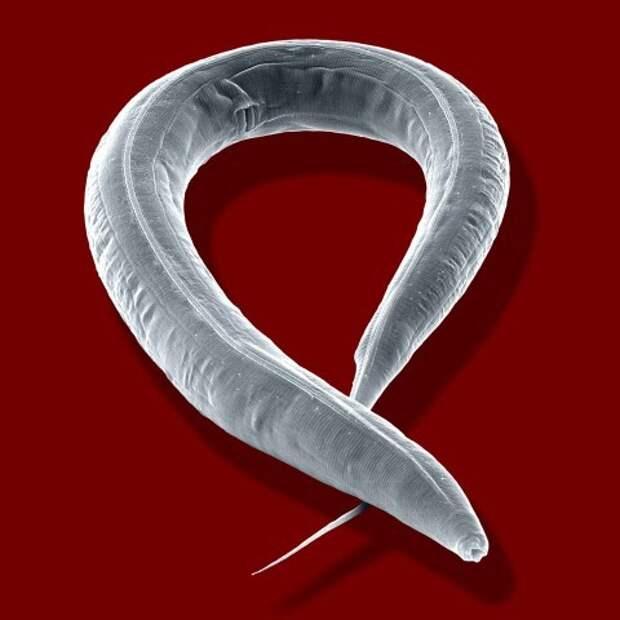 Учёным удалось продлить срок жизни организма в 5 раз! Ученые, Старение, Генетика, Длиннопост