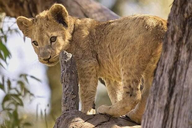 Львенок. У львов самцы и самки сильно отличаются друг от друга. У самцов есть мощная грива, у самок её нет. Грива среди кошек встречается только у львов.