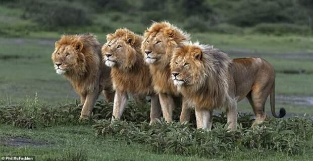 2. Банда. Фил МакФедден (Phil McFadden) дикая природа, дикие животные, животные, лучшие фото, львы, подборка, фото, хищники