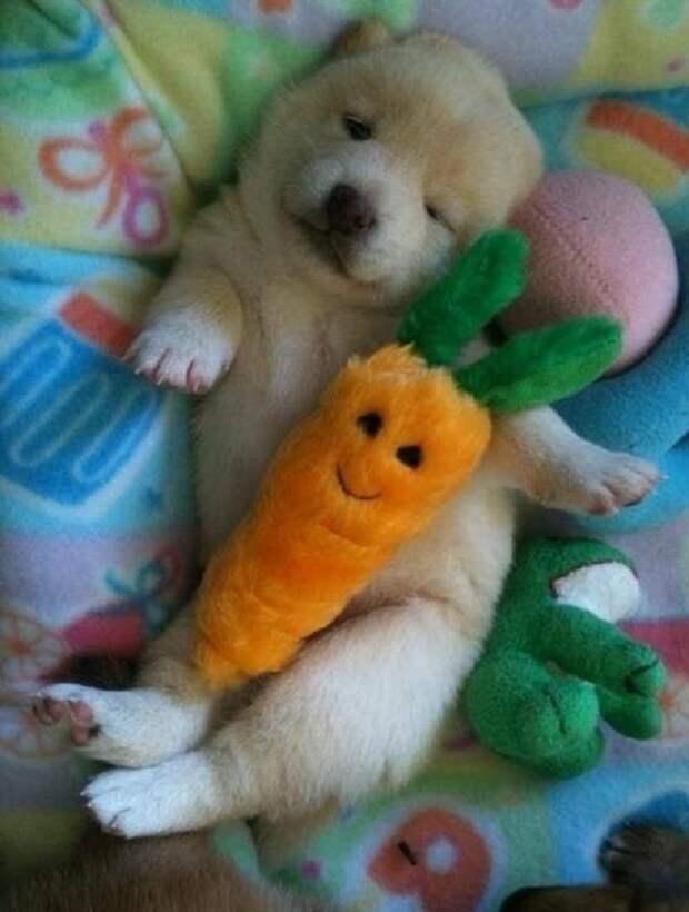 Щенок спит с морковкой