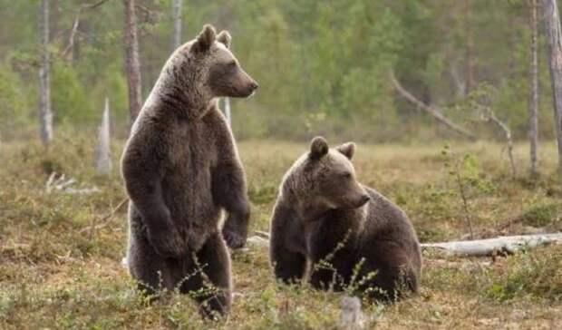 Охоту на медведя открывают в Удмуртии с 1 августа