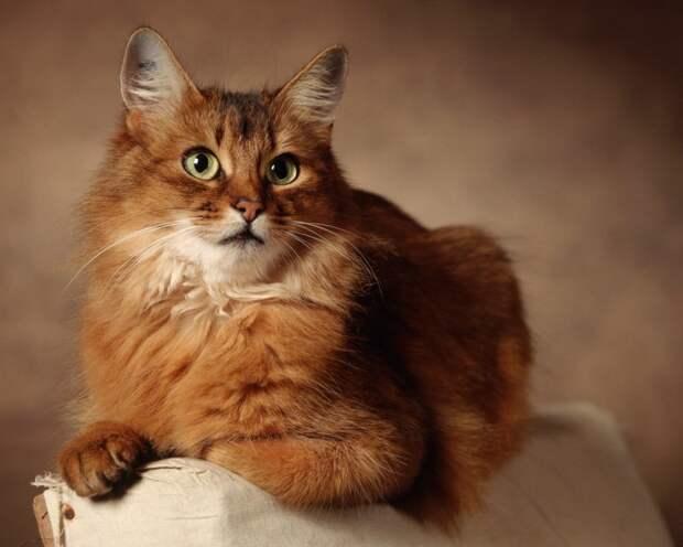 «Лисья кошка». Великолепная осанка и грациозность