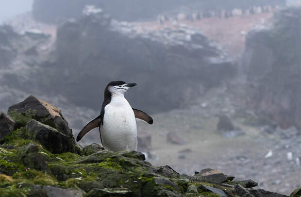 Антарктический пингвин