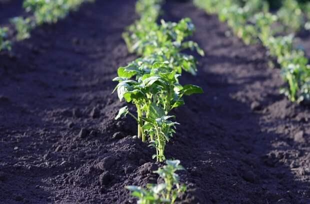 Если именно так удобрить картошку при посадке, то урожая будет больше в несколько раз