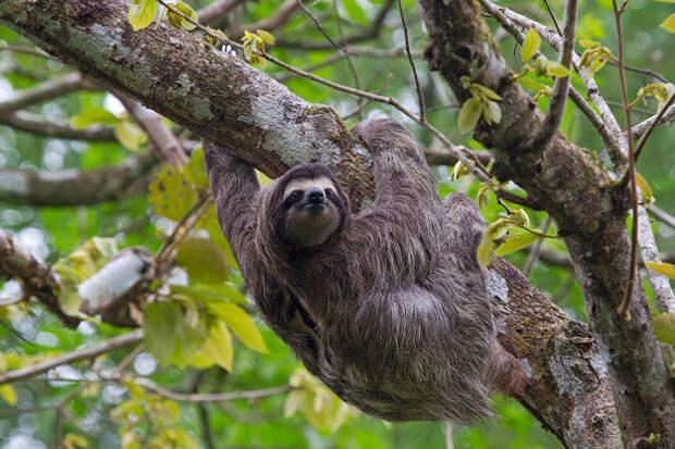 Удивительные факты о ленивцах