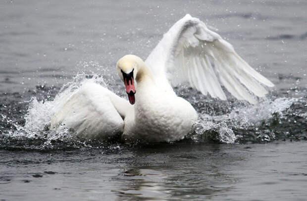 Австрийские лебеди-геи нападают на людей