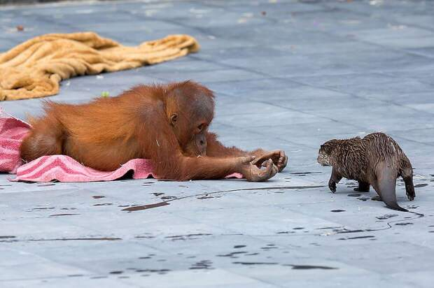 Необычная дружба обезьян с малышами выдрами