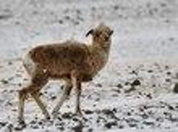 В Новосибирске ветеринары пытались спасти самку аргали с Алтая