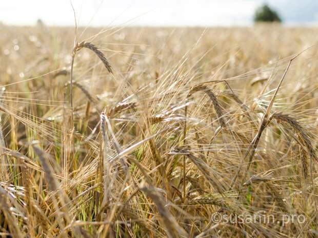 Удмуртия планирует производить 1 млн тонн зерна в год