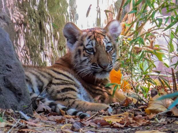 Паре из Франции продали краснокнижного тигрёнка под видом породистой кошки