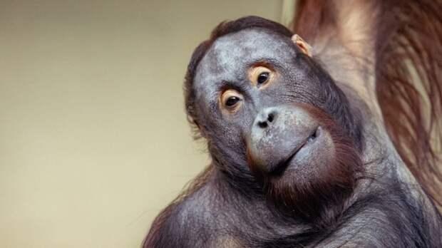Орангутан из Дании приехал в Калининградский зоопарк