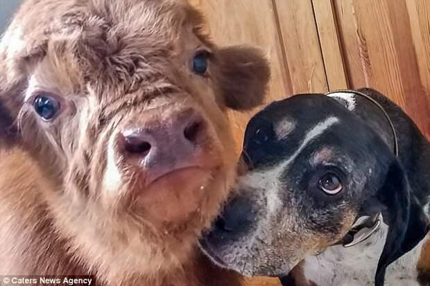 Отвергнутого стадом теленка воспитали собаки