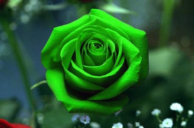 http://img0.liveinternet.ru/images/attach/c/6/90/136/90136302_large_3232668_original_rose_green21.jpg