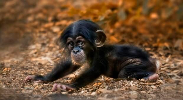 Шимпанзе наиболее близкородственный вид к человеку, если рассматривать с генетической точки зрения. Они намного умнее обезьян, и умело пользуются своими умственными способностями.