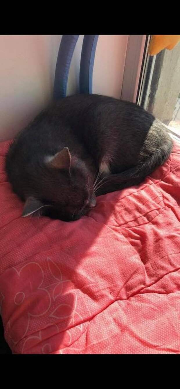 Феликс, кот амурского губернатора, после спасения отсыпается дома... Фото: СОЦСЕТИ