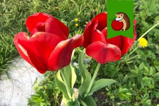 5 простых шагов, как продлить цветение тюльпанов в саду на несколько недель
