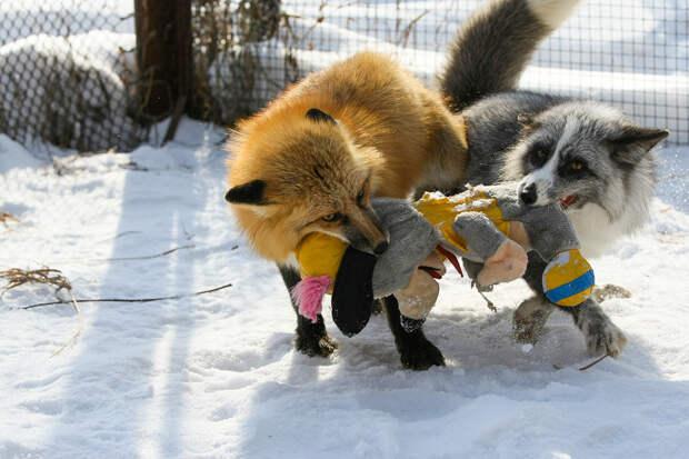 Как сибирские генетики сделали лису домашней