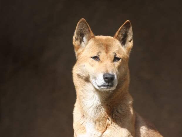 Ученые нашли диких предков новогвинейских поющих собак