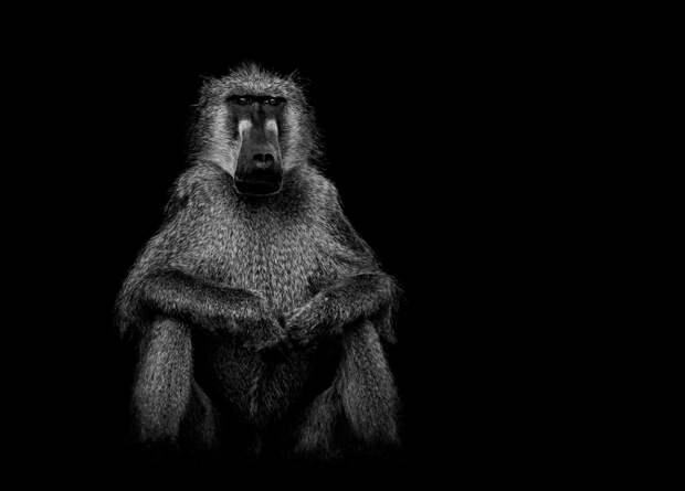 zhivotnye 10 Черно белые портреты диких животных
