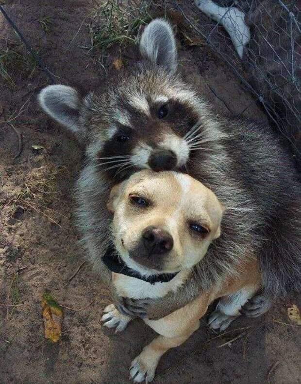 Енот обнимает собаку
