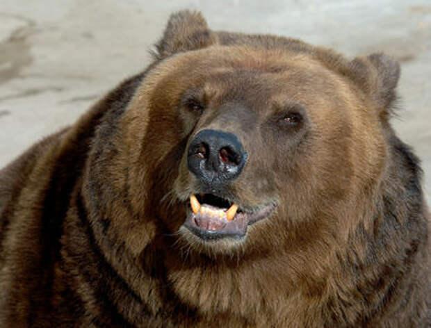 Chevrolet Tahoe спас домохозяйку от медведя