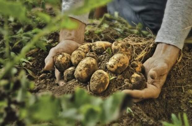 Почему картофель опять не уродился? 7 самых частых причин