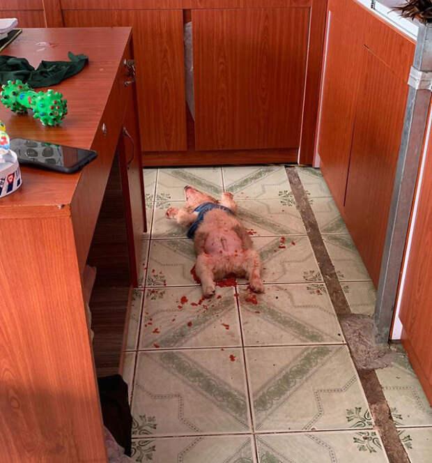 Хозяева нашли своего пса в крови. Оказалось, что он всего лишь объелся фруктов