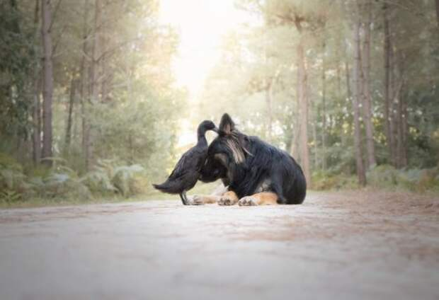 Забавная дружба между собакой и уткой