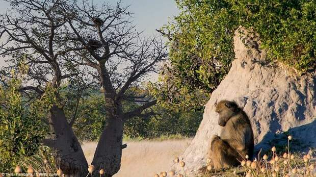 Фотограф показал сафари в Ботсване в гипнотическом таймлапс-видео ботсвана, видео, дикая природа, животные, красиво, таймлапс, фото, фотограф