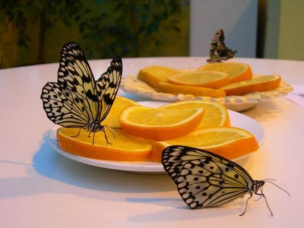 Бабочки на апельсине
