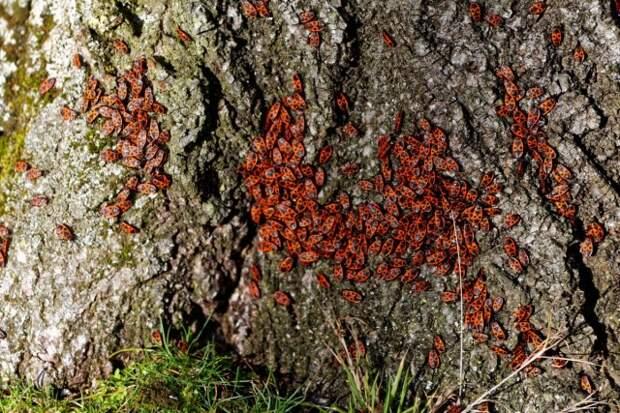 Скопление клопов-солдатиков на стволе дерева