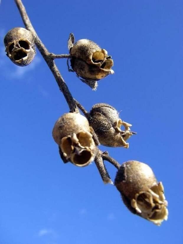 12. Растение, соцветия которого похожи на человеческие черепа животные, мир, подборка, природа, ужас, фото, явление