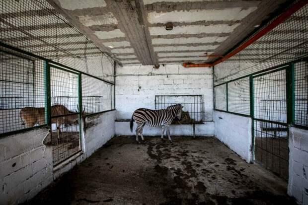 Защитники спасли трех львов, водяного козла, четырех оленей, лисицу, зебру и черепаху Four Paws, Албания, животные, зоопарк, организация, спасение, фото