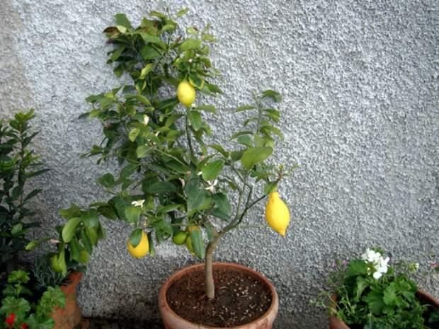 Всё что вы должны знать об уходе за лимоном дома