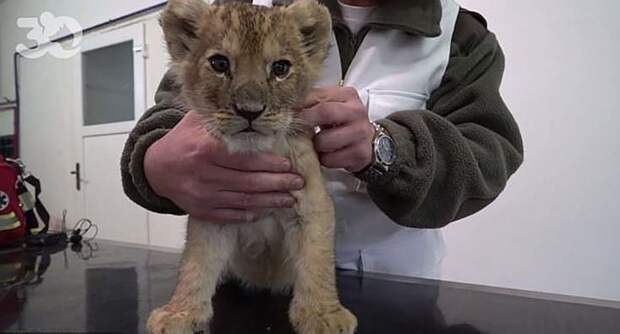 В Париже в спорткаре был найден маленький львёнок, и это далеко не первый случай в мире, домашний питомец, животные, кошка, львенок, находка